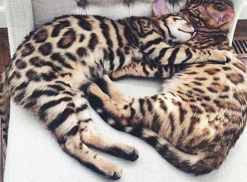 Кошки1