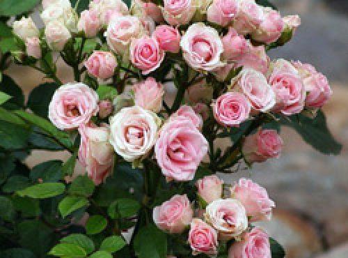Ухаживаем за розой