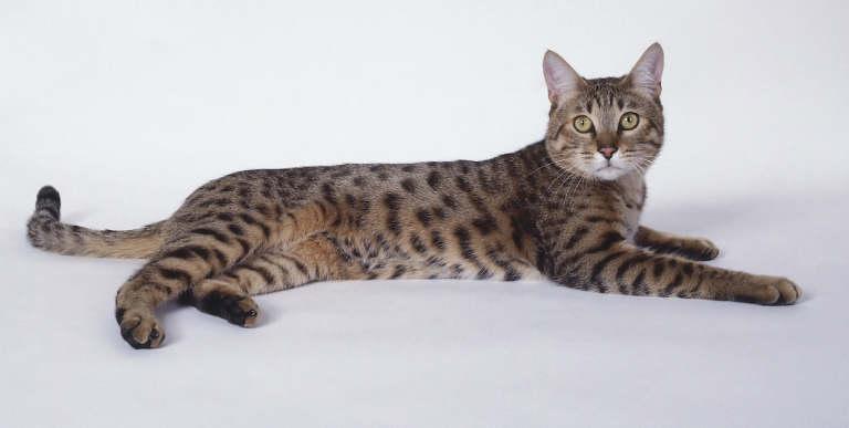 Калифорнийская крапчатая кошка