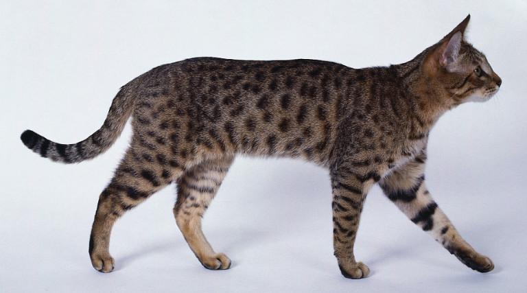 Калифорнийская крапчатая кошка1