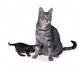 Калифорнийская крапчатая кошка2