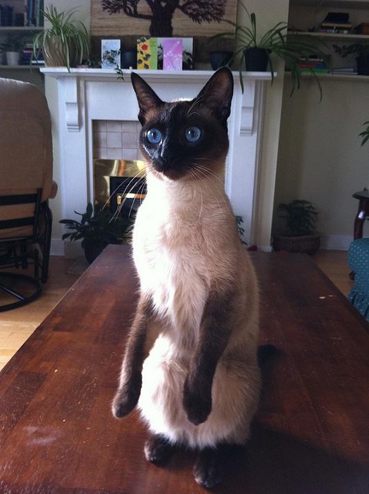 сиамские коты1