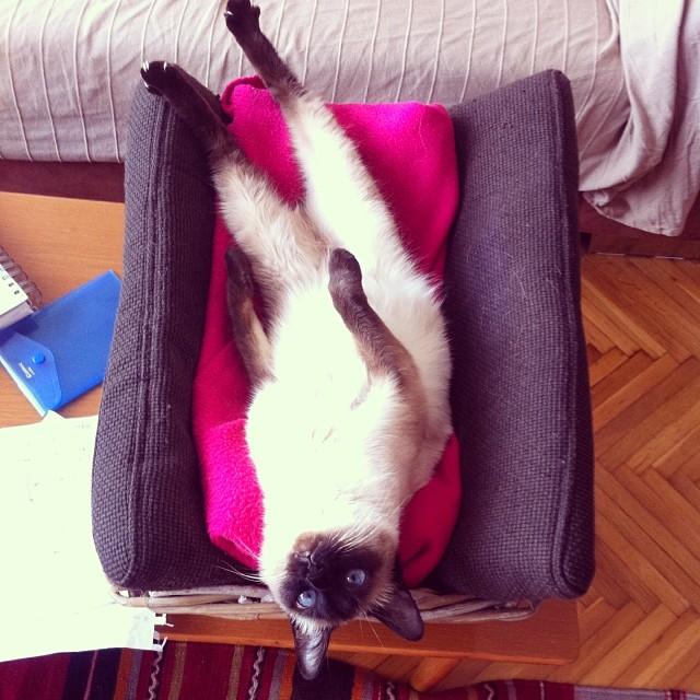 сиамские коты4