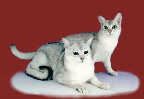 Порода кошек Бурмилла1