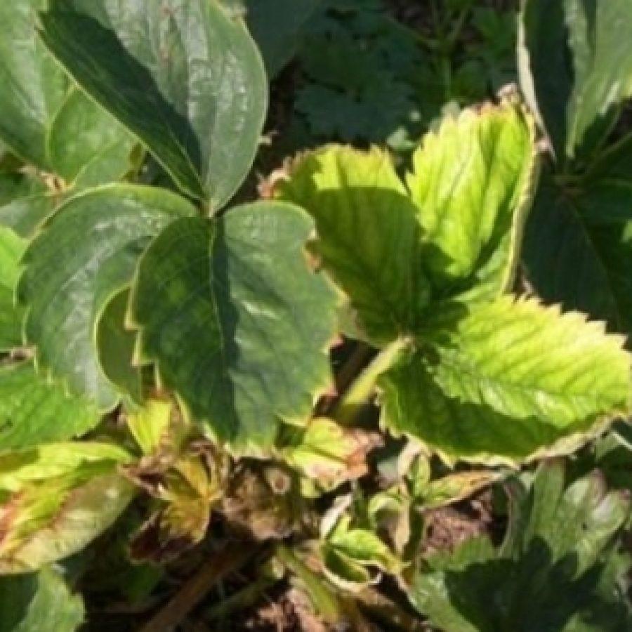 посылочки через у клубники желтеют листья персидской